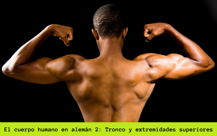 el cuerpo humano tronco y extremidades superiores